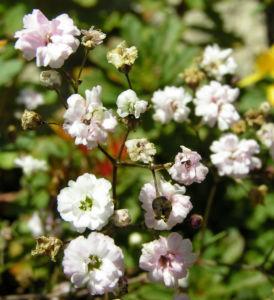 Schleierkraut Bluete weiss Gypsophila pacifica 04