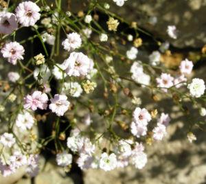 Bild: Schleierkraut Bluete weiss Gypsophila pacifica