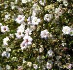 Schleierkraut Bluete weiss Gypsophila pacifica 06