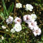 Schleierkraut Bluete weiss Gypsophila pacifica 07