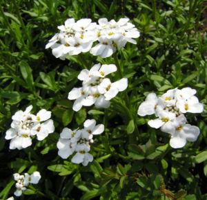 Schleifenblume Bluete schneeweiss Iberis sempervirens 02
