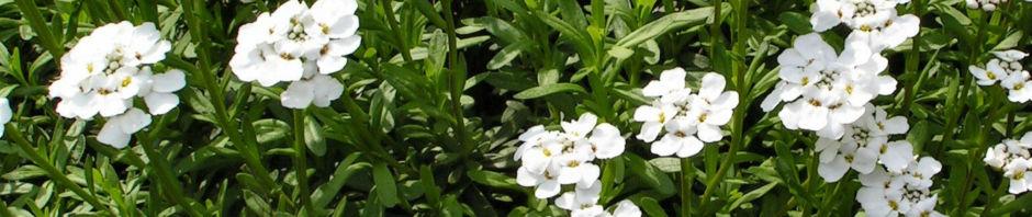 immergruene-schleifenblume-bluete-schneeweiss-iberis-sempervirens
