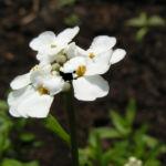 Schleifenblume Bluete schneeweiss Iberis sempervirens 05