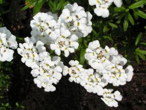 Schleifenblume Bluete schneeweiss Iberis sempervirens 07