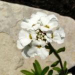 Schleifenblume Bluete schneeweiss Iberis sempervirens 08