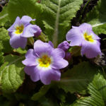 Schluesselblume staengellos Primula vulgaris 01