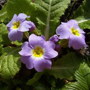 Schlüsselblume stängellos Blüte lila Primula vulgaris