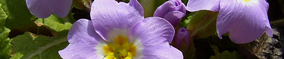 schluesselblume-staengellos-bluete-lila-primula-vulgaris
