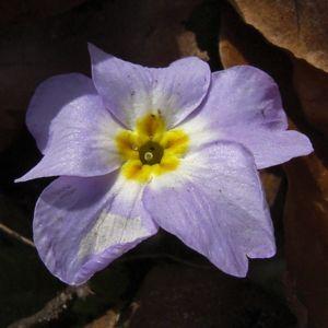 Schluesselblume staengellos Primula vulgaris 03