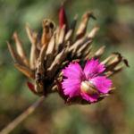 Schmalblaettrige Riesen Nelke Bluete pink Dianthus giganteus 04