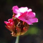 Schmalblaettrige Riesen Nelke Bluete pink Dianthus giganteus 08