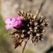 Zurück zum kompletten Bilderset Schmalblättrige Riesen-Nelke Blüte pink Dianthus giganteus