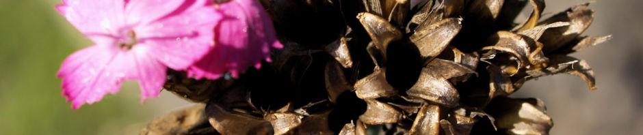 schmalblaettrige-riesen-nelke-bluete-pink-dianthus-giganteus