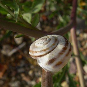 Schmalblaettriger Doppelsame Blatt Diplotaxis tenuifolia 04