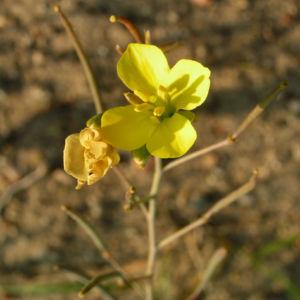 Schmalblaettriger Doppelsame Bluete gelb Diplotaxis tenuifolia 01