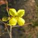 Zurück zum kompletten Bilderset Schmalblättriger Doppelsame Blüte gelb - Diplotaxis tenuifolia