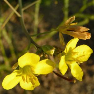 Schmalblaettriger Doppelsame Bluete gelb Diplotaxis tenuifolia 05