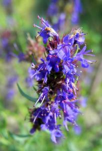 Schmalblaettriger Isop Bluete blau Hyssopus officinalis 03