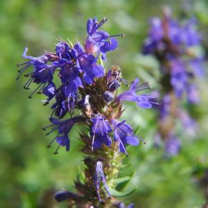 Schmalblaettriger Isop Bluete blau Hyssopus officinalis 08