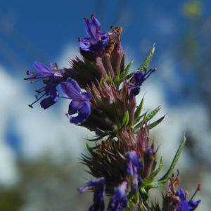 Schmalblaettriger Isop Bluete blau Hyssopus officinalis 09