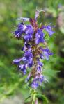 Bild: Schmalblättriger Isop Blüte blau Hyssopus officinalis