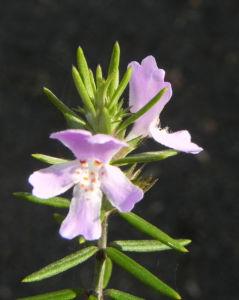 Schmalblättriger Minzstrauch Blüte lila Prostanthera linearis 06