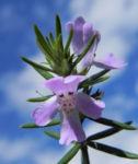 Schmalblättriger Minzstrauch Blüte lila Prostanthera linearis 10