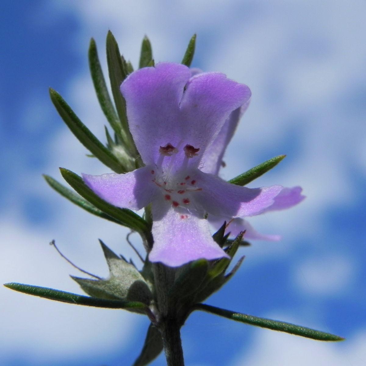 Schmalblättriger Minzstrauch Blüte lila Prostanthera linearis