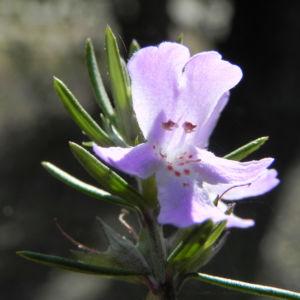 Schmalblättriger Minzstrauch Blüte lila Prostanthera linearis 13
