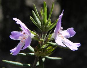 Schmalblättriger Minzstrauch Blüte lila Prostanthera linearis 15