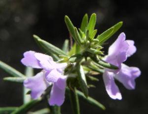 Schmalblättriger Minzstrauch Blüte lila Prostanthera linearis 17