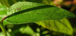 Schmalblaettriger Sonnenhut Blatt gruen Echinacea angustifolia 07