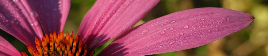 schmalblaettriger-sonnenhut-bluete-pink-echinacea-angustifolia