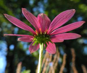 Schmalblaettriger Sonnenhut Bluete pink Echinacea angustifolia 04