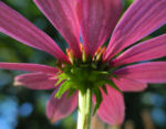 Schmalblaettriger Sonnenhut Bluete pink Echinacea angustifolia 06