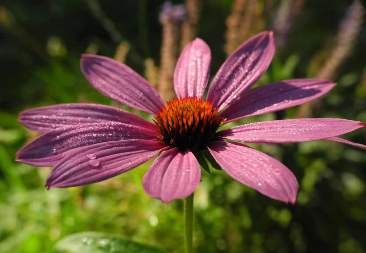 Schmalblaettriger Sonnenhut Bluete pink Echinacea angustifolia