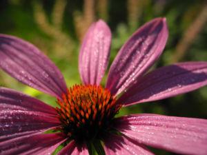 Schmalblaettriger Sonnenhut Bluete pink Echinacea angustifolia 09