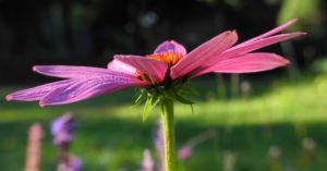 Schmalblaettriger Sonnenhut Bluete pink Echinacea angustifolia 10