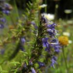 Schmalblaettriger Ysop Bluete blau Hyssopus officinalis 01