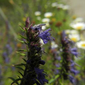 Schmalblaettriger Ysop Bluete blau Hyssopus officinalis 04