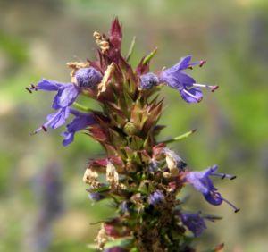 Schmalblaettriger Ysop Bluete blau Hyssopus officinalis 14