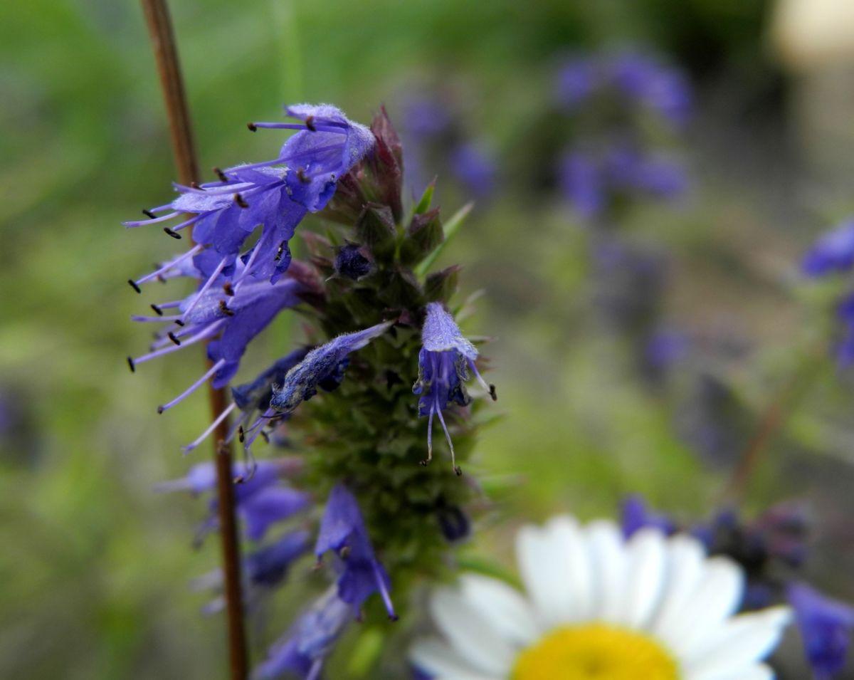 Schmalblaettriger Ysop Bluete blau Hyssopus officinalis