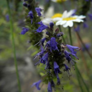 Schmalblaettriger Ysop Bluete blau Hyssopus officinalis 20