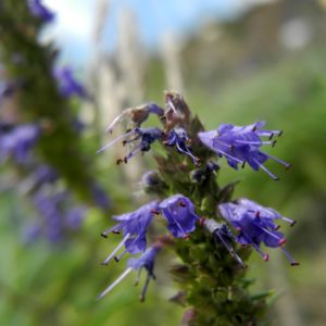 Schmalblaettriger Ysop Bluete blau Hyssopus officinalis 23