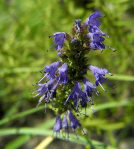 Echter Ysop Hyssopus officinalis