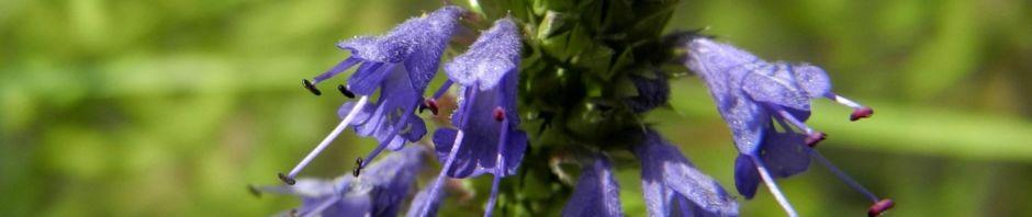 echter-ysop-hyssopus-officinalis