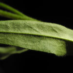Schmalblaettriges Lungenkraut Blatt gruen Pulmonaria angustifolia 03