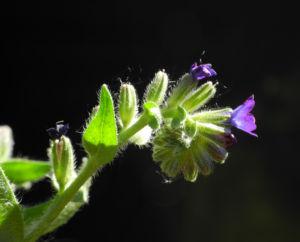 Schmalblaettriges Lungenkraut Bluete blau Pulmonaria angustifolia 01