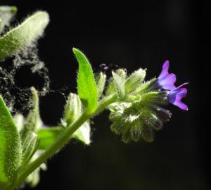 Schmalblaettriges Lungenkraut Bluete blau Pulmonaria angustifolia 02