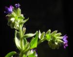 Schmalblaettriges Lungenkraut Bluete blau Pulmonaria angustifolia 03